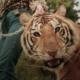 """Avec """"Tiger King"""", Netflix met en lumière le combat opposant les collectionneurs de félins et les écologistes et défenseurs des droits des animaux."""